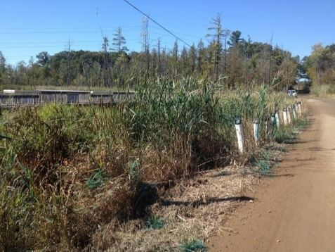 Road Right of Way with Invasive Phragmites