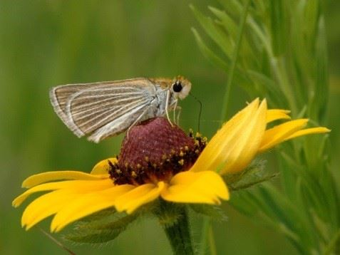 Poweshiek Skipperling on a Flower